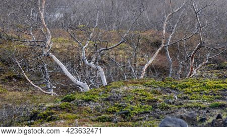 Silver birch trees in woodlands of Iceland during spring time