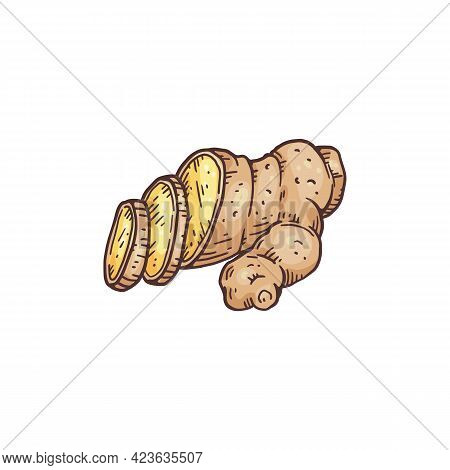 Hand Drawn Ginger Sliced Root, Engraving Hand Drawn Vector Illustration Isolated.