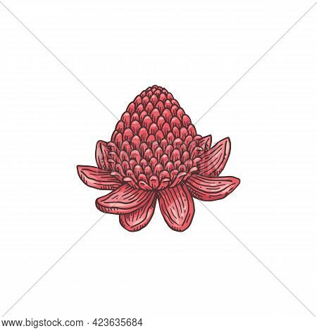 Hand Drawn Blooming Ginger Flower, Engraving Vector Illustration Isolated.