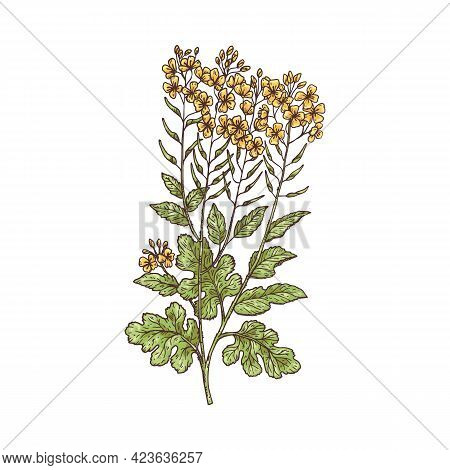 Field Or Turnip Mustard Plant Vintage Engraving Vector Illustration Isolated.
