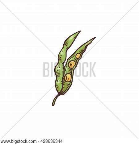 Green Pod Of Plant Mustard With Yellow Seeds A Vector Sketch Illustration.