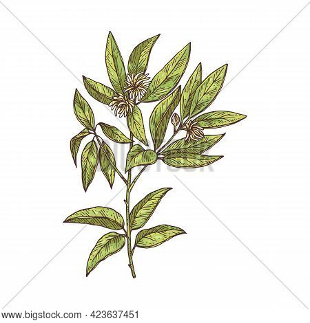 Anise Branch With Flowers And Leaves Engraving Vector Illustration Isolated.