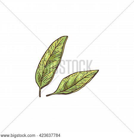 Fresh Green Anise Leaves, Engraving Vector Illustration Isolated On White.