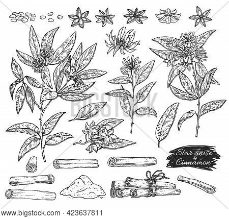 Anise And Cinnamon Set Botanical Sketch Vector Illustration Isolated.