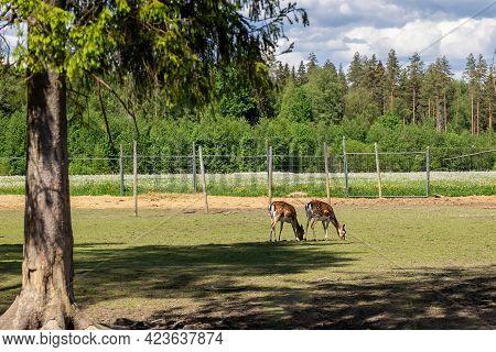Sika Deer On A Reindeer Farm. Deer In Captivity. Deer Graze In The Pasture. Reindeer Farm. High Qual