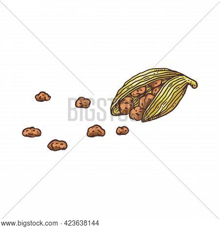 Cardamom Pod And Seeds Drawing - Isolated Ingredient