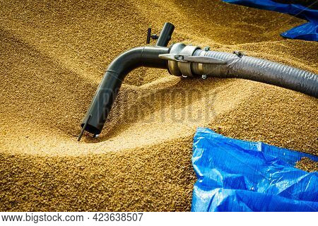 Heap Of Whole Grain Seeds Wheat Kernels And Machine Hose Tube. Farm Production Of Crops, Industry An