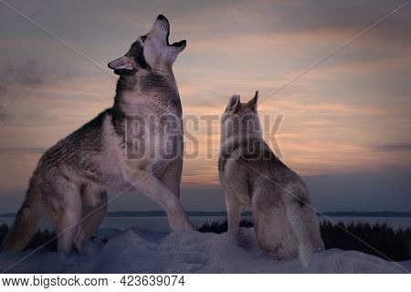 In Winter, An Obscene Wise Wolf Teaches His Little Wolf Cub How To Howl Correctly