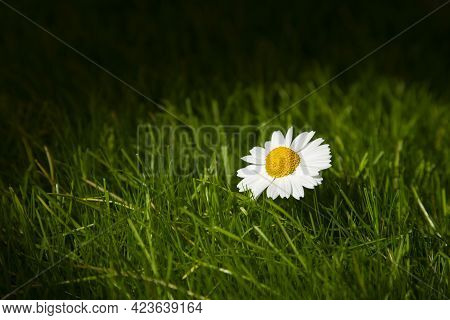 A Flower With White Petals In The Sun On A Background Of Green Grass. The Concept Of Beauty Against