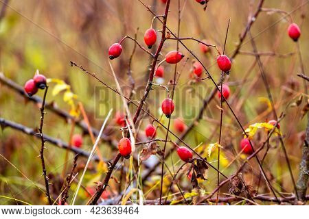 Red Rose Hips On A Bush Among The Scrub