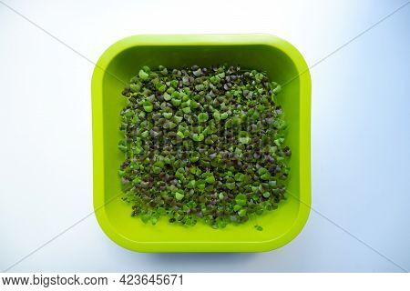 In The Photo, The Sprouts Of Micro-green Daikon Lettuce In A Container Are Close-up.  The Process Of