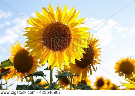 Sunflower Flowers At The Evening Field