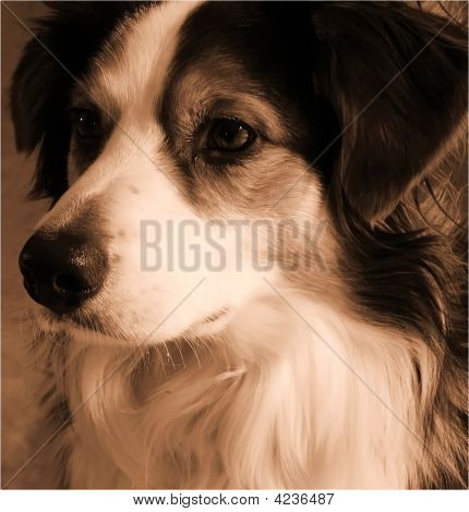 Sepia Australian Shepherd Dog
