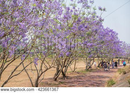 Puli Township, Taiwan - April 21th, 2021: tourist with purple flowers trees of Jacaranda(Green Ebony) at Nantou, Taiwan