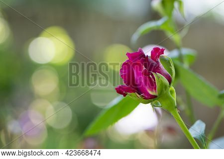 Red Rose Bud. New Rose Bud. Young Graceful Spray Rose. A Small Bud Of A Blooming Flower. Closeup Of