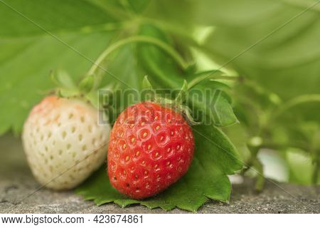 Raw Biological Strawberry Fruit Plant Ripe, Detailed Close-up View, Agricultural Ingredients