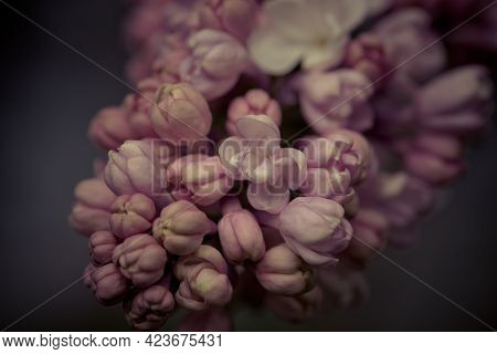 Persian Lilac Flowers. Beautiful Spring Background Of Flowering Lilac. Selective Soft Focus, Shallow