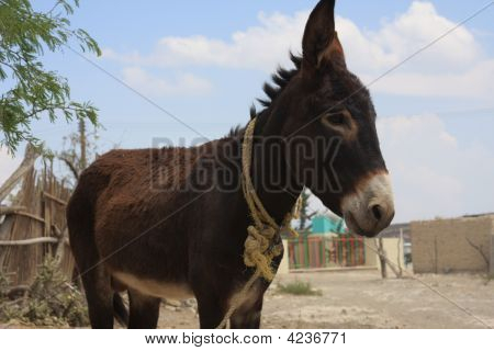 Donkey In Town