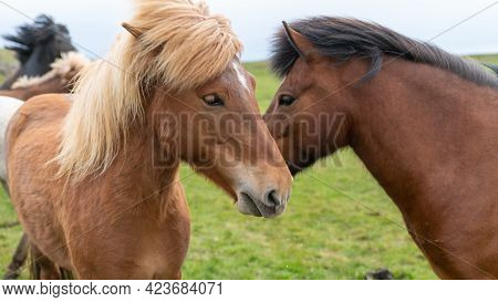 Icelandic Horses With Long Hair. Icelandic Horse Is A Breed Of Horse Developed In Iceland Only.