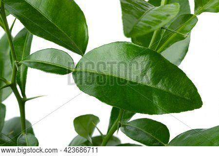 Fresh green aroamtic Kaffir lime leaves close up