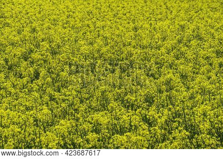 Rapeseed Field For The Production Of Biofuel And Rapeseed Oil