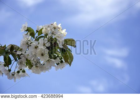 Branch Of Flowering Cherry Tree On Cloudy Sky Background. Blooming Spring Orchard. Close-up. Selecti
