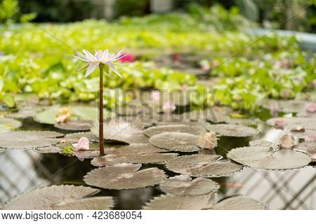 Pink Water Lily With Green Leaves, Beautiful Lotus Flower In The Pond