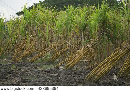 Sugarcane Fields, Sugarcane Is A Very Tasty Food.  And Sugar Is Made From This Sugarcane.