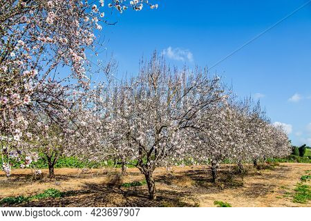 Morning walk in blooming almond grove. Almond trees are covered with beautiful white and pink flowers. Early spring in Israel. Warm sunny february day.