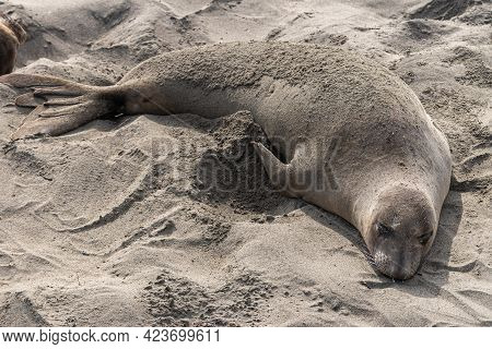 San Simeon, Ca, Usa - February 12, 2014: Elephant Seal Vista Point. Closeup Of One Big Gray Mammal O