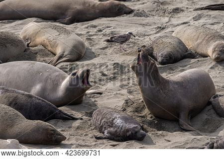 San Simeon, Ca, Usa - February 12, 2014: Elephant Seal Vista Point. Anong Others And A Young, A Fema