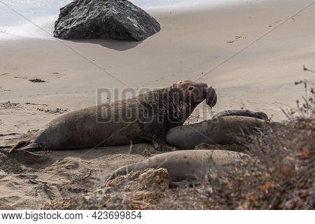 San Simeon, Ca, Usa - February 12, 2014: Elephant Seal Vista Point. Male Approaching Female On Beige