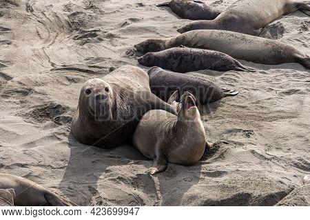 San Simeon, Ca, Usa - February 12, 2014: Elephant Seal Vista Point. Female Pulls Away While Howling