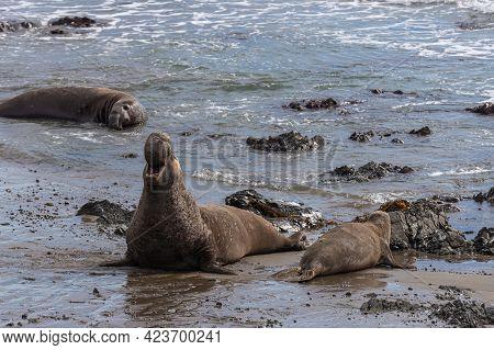 San Simeon, Ca, Usa - February 12, 2014: Elephant Seal Vista Point. Male Howls In Jubilation While F