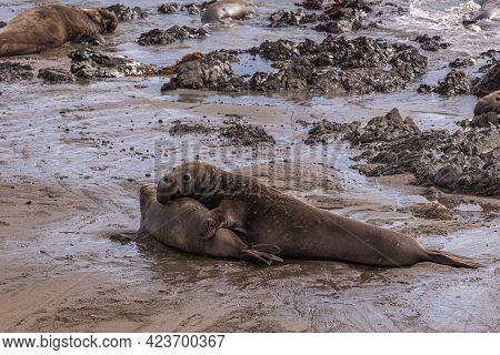 San Simeon, Ca, Usa - February 12, 2014: Elephant Seal Vista Point. Male Overwhelms And Turns Female