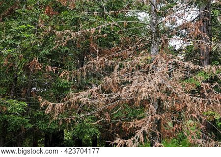 Disease Of Spruce Plants. Dried Spruce Plant In The Mountains Or Forest