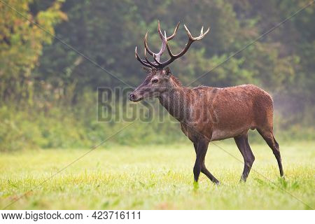 Red Deer Moving On Green Field In Autumn Mist Nature