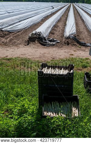 Plastic Boxes With New Harvest Of White Asparagus, North Brabant, Netherlands