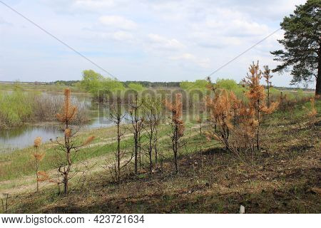 Consequences Of A Fire In The Forest. Burnt Dead Trees Against The Background Of Green Grass. Spring