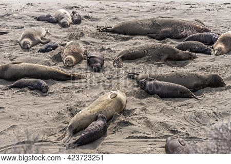San Simeon, Ca, Usa - February 12, 2014: Elephant Seal Vista Point. Group Of Mothers And Young Resti