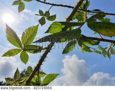 Wild Blackberry Leaves And Thorn Canes, Greenish Silhouette Against Blue Clouded Sky With Sunlight