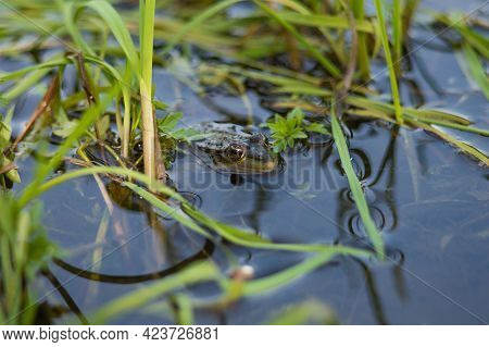 Green frog on the river bank stuck its head out of the water. Common European frog