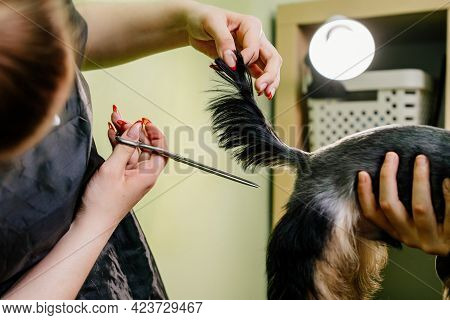 Groomer Makes Shearing Of Tail Yorkshire Terrier By Scissors.