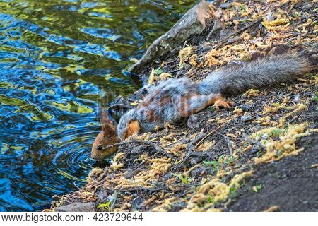 The Squirrel Drinks Water From Pond In The Spring Or Summer. Squirrel With Shedding Wool. Eurasian R