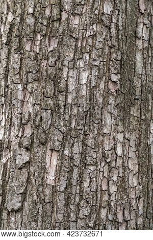 The Texture Of The Bark Of An Old Apple Tree. Detailed Bark Texture. Natural Background