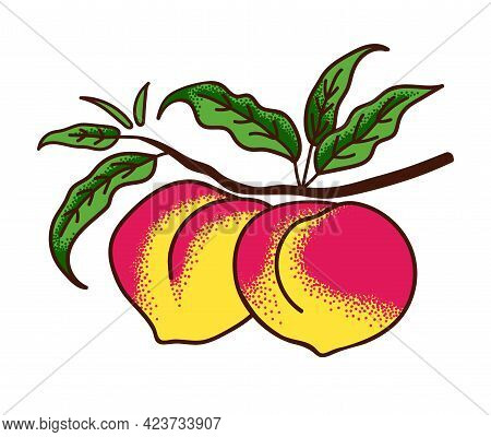 Ripe Peaches On Branch With Leaves Isolated On White. Vector Illustration Engraving Style.