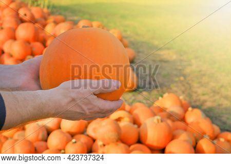 Pumpkin Harvest. Pumpkin Farmers Market. Thanksgiving And Halloween . Pumpkin In Male Hands On Blurr