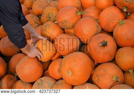 Pumpkin Farmers Market. Thanksgiving And Halloween Holiday. Pumpkin In Male Hands On Blurred Pumpkin