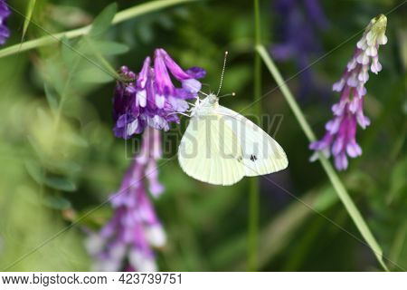 Butterfly On Hairy Vetch In Bloom Close-up View Of It