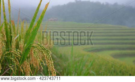Rice Field. Closeup Of Yellow Paddy Ripe Rice Field With Green Leaf In Autumn. Royalty High-quality